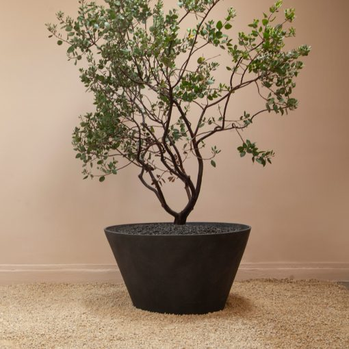 Inner Gardens large black modern tub planter containing ficus tree